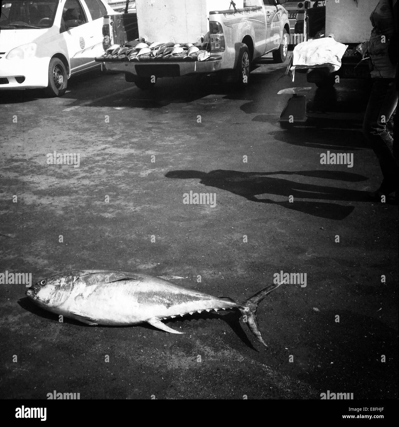 Oman, Muscat, Yellowfin tuna on floor of fish market - Stock Image