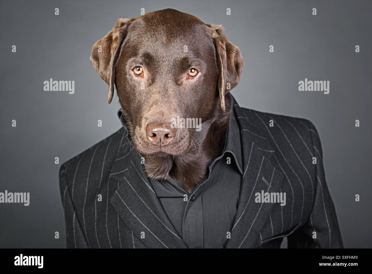 Cool Looking Chocolate Labrador in Pinstripe Suit - Stock Image
