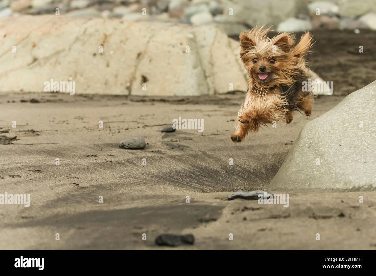 Yorkshire Terrier running on beach - Stock Image