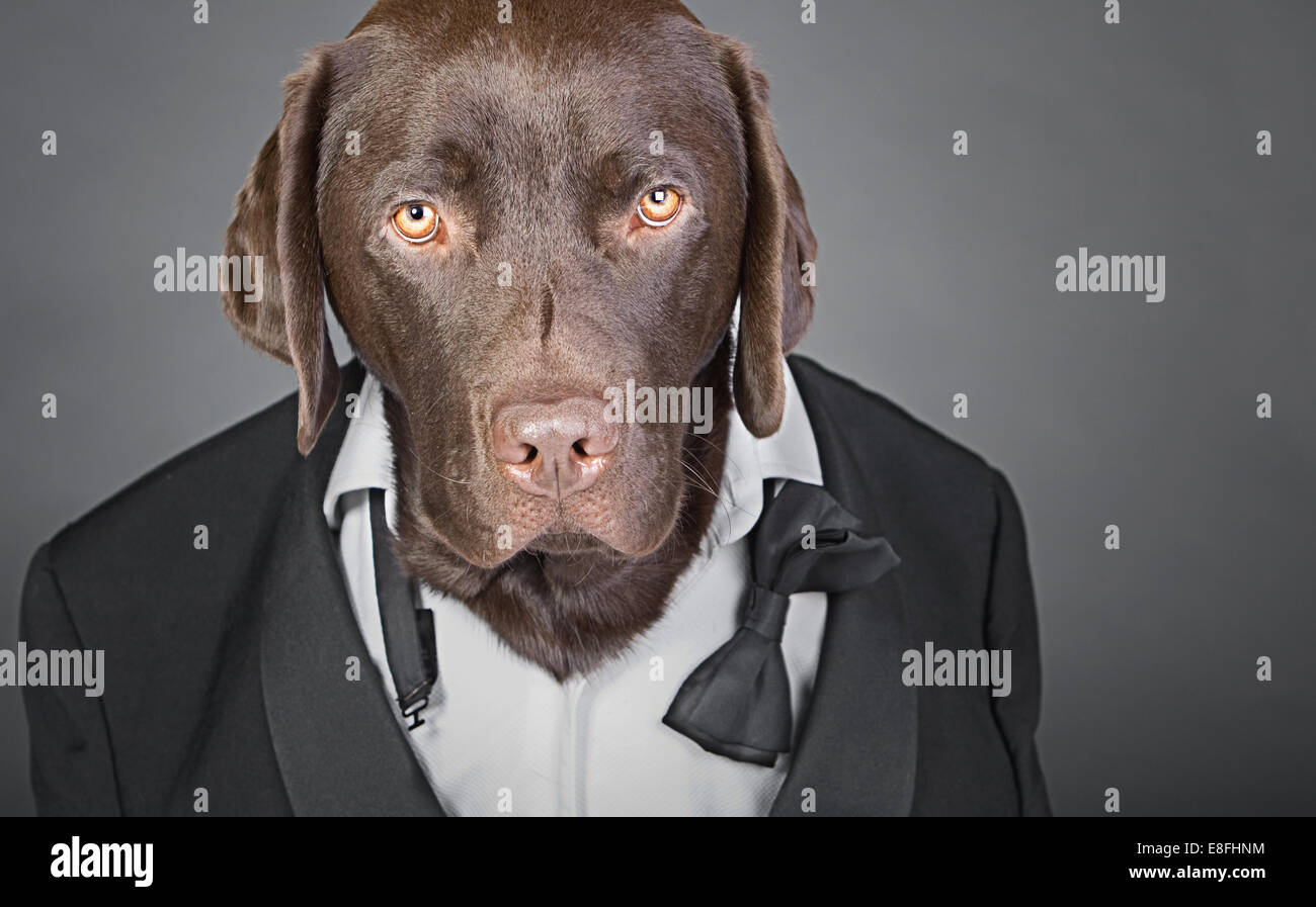 Cool Chocolate Labrador in Tuxedo against a Grey Background - Stock Image