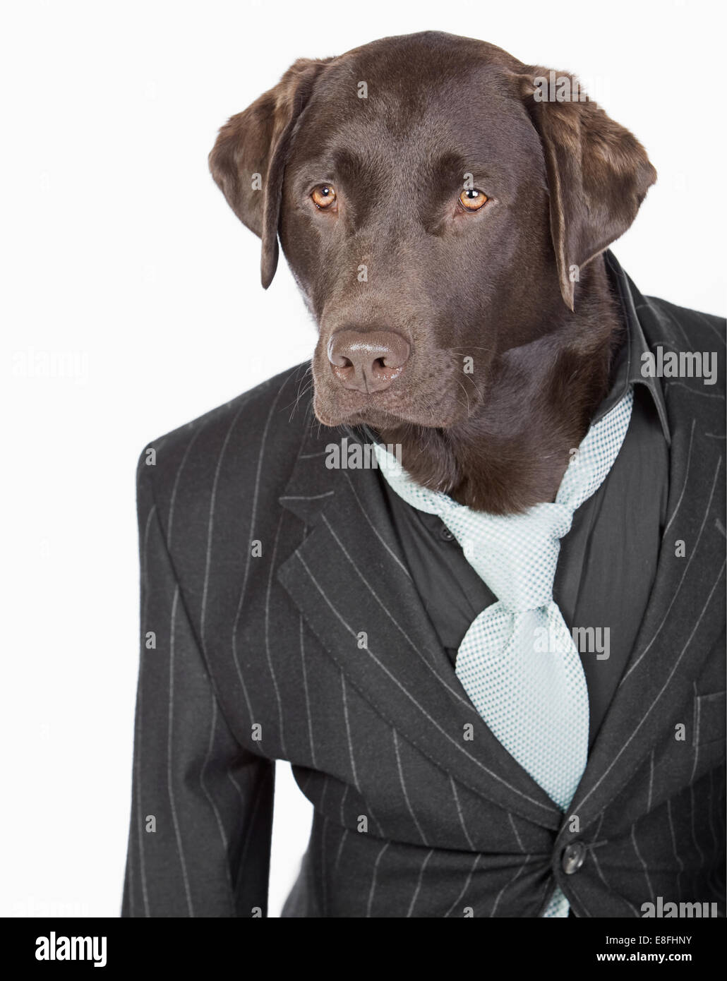 Isolated Shot of a Smart Chocolate Labrador in Pinstripe Jacket - Stock Image