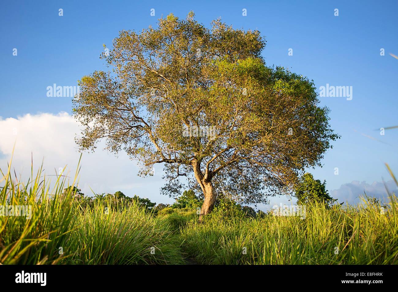 Indonesia, Bali, Ubud, Tree - Stock Image