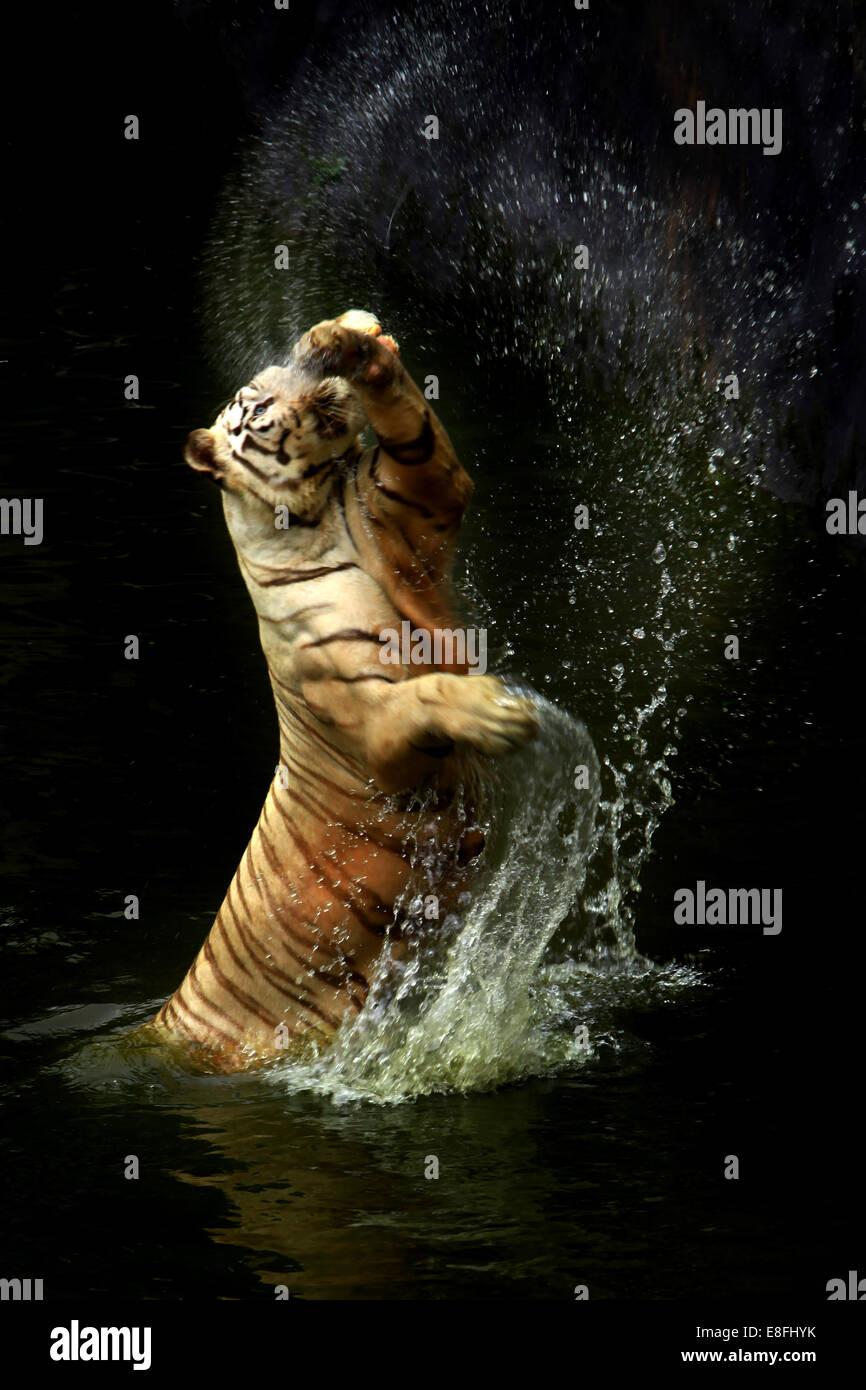 Indonesia, Jakarta Special Capital Region, Jakarta, Tiger splashing water - Stock Image