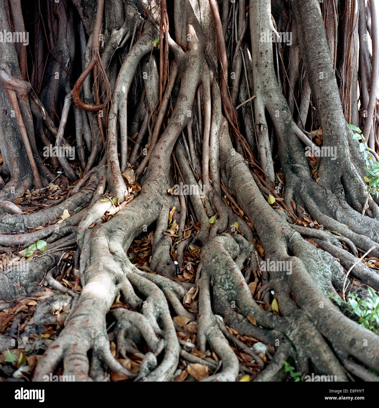 Close-up of tree roots - Stock Image