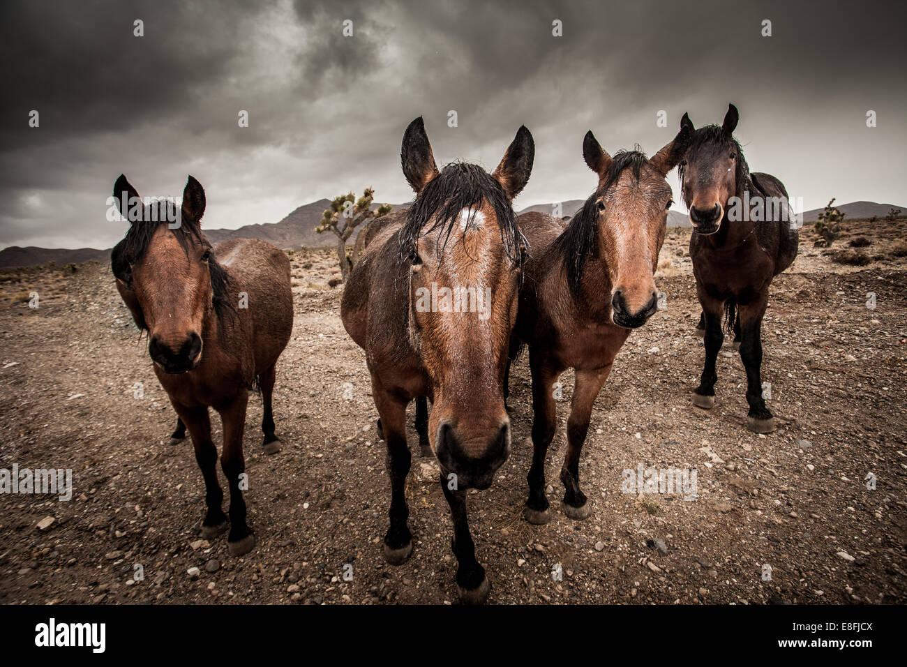 Portrait of herd of horses - Stock Image
