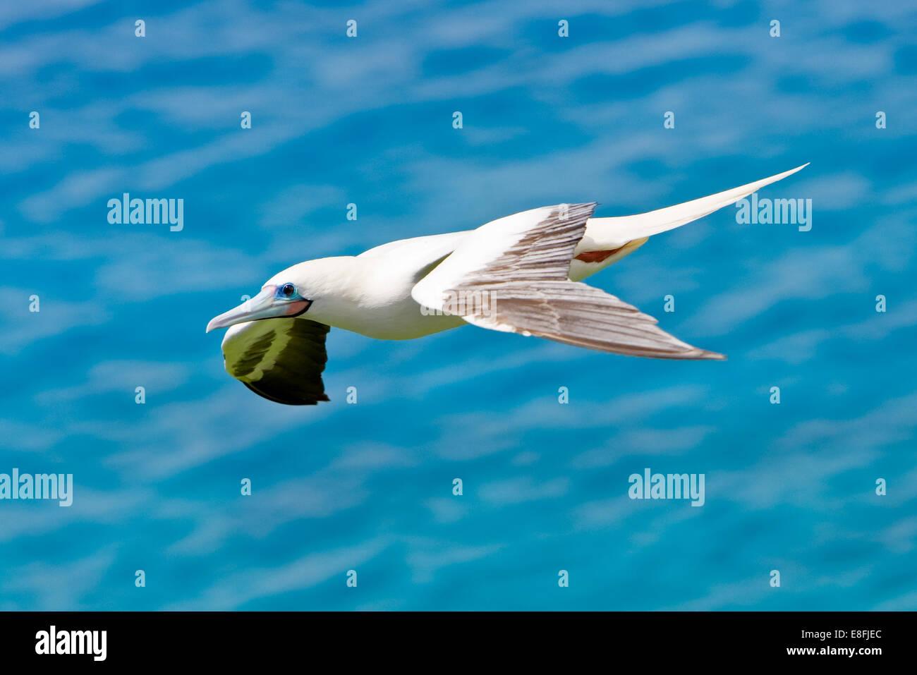 Northern Mariana Islands, Rota Municipality, Rota, Bird in flight - Stock Image