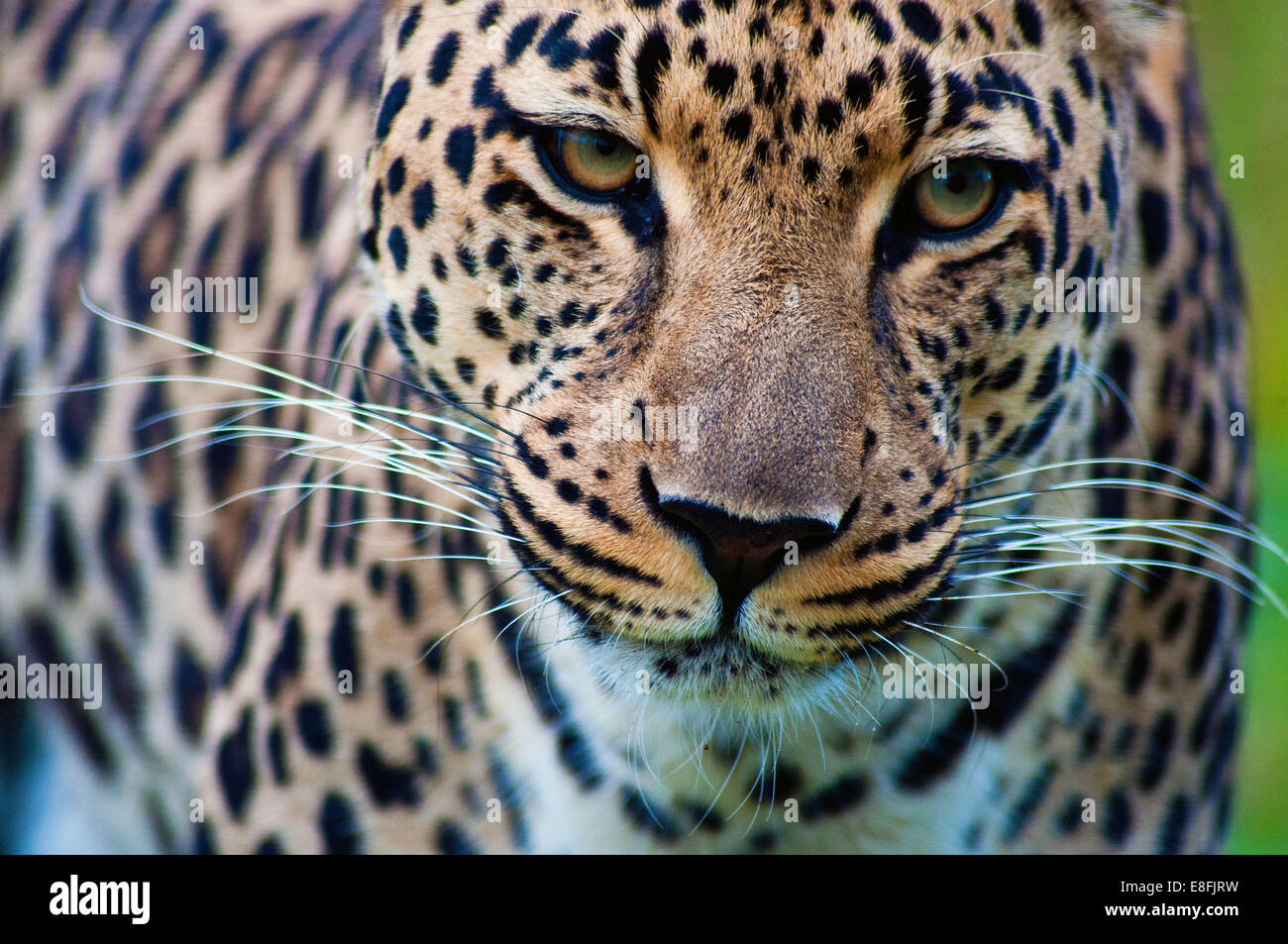 Portrait of a leopard, Mpumalanga, South Africa - Stock Image