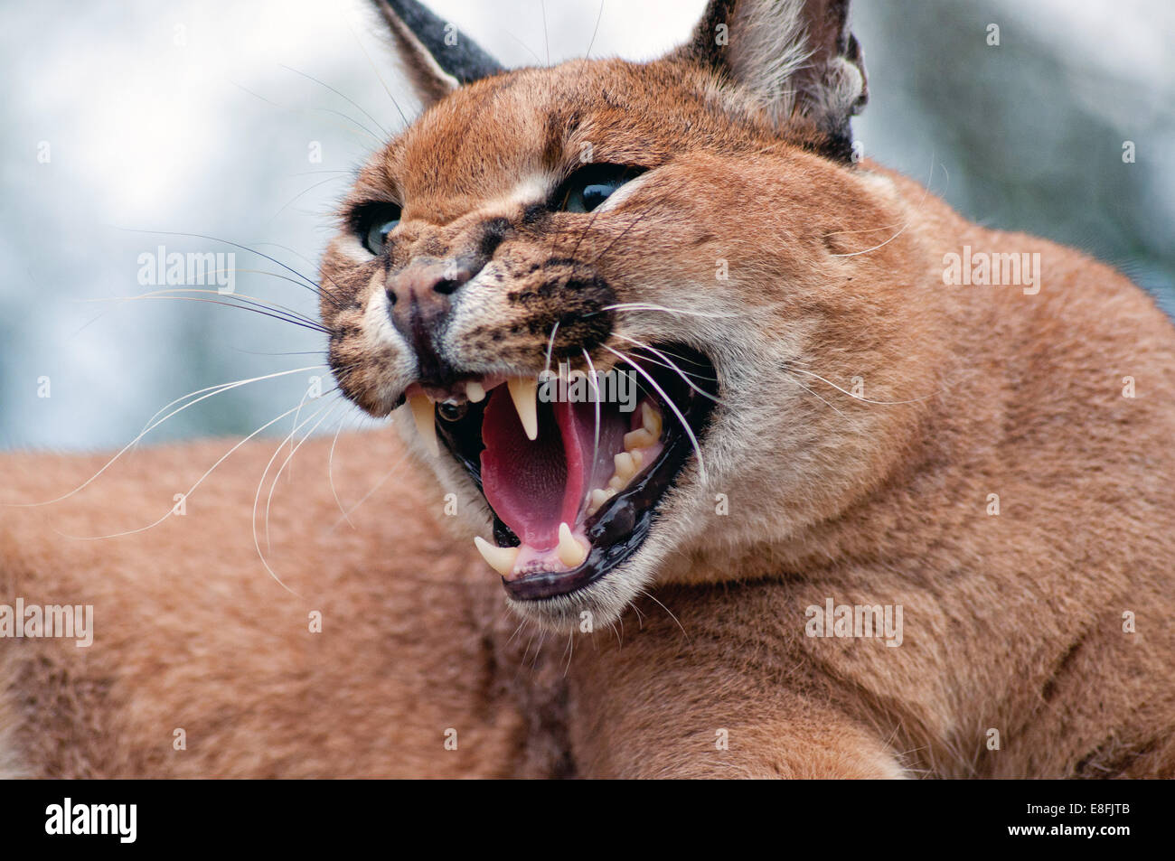 Portrait of caracal (caracal caracal) growling, South Africa - Stock Image