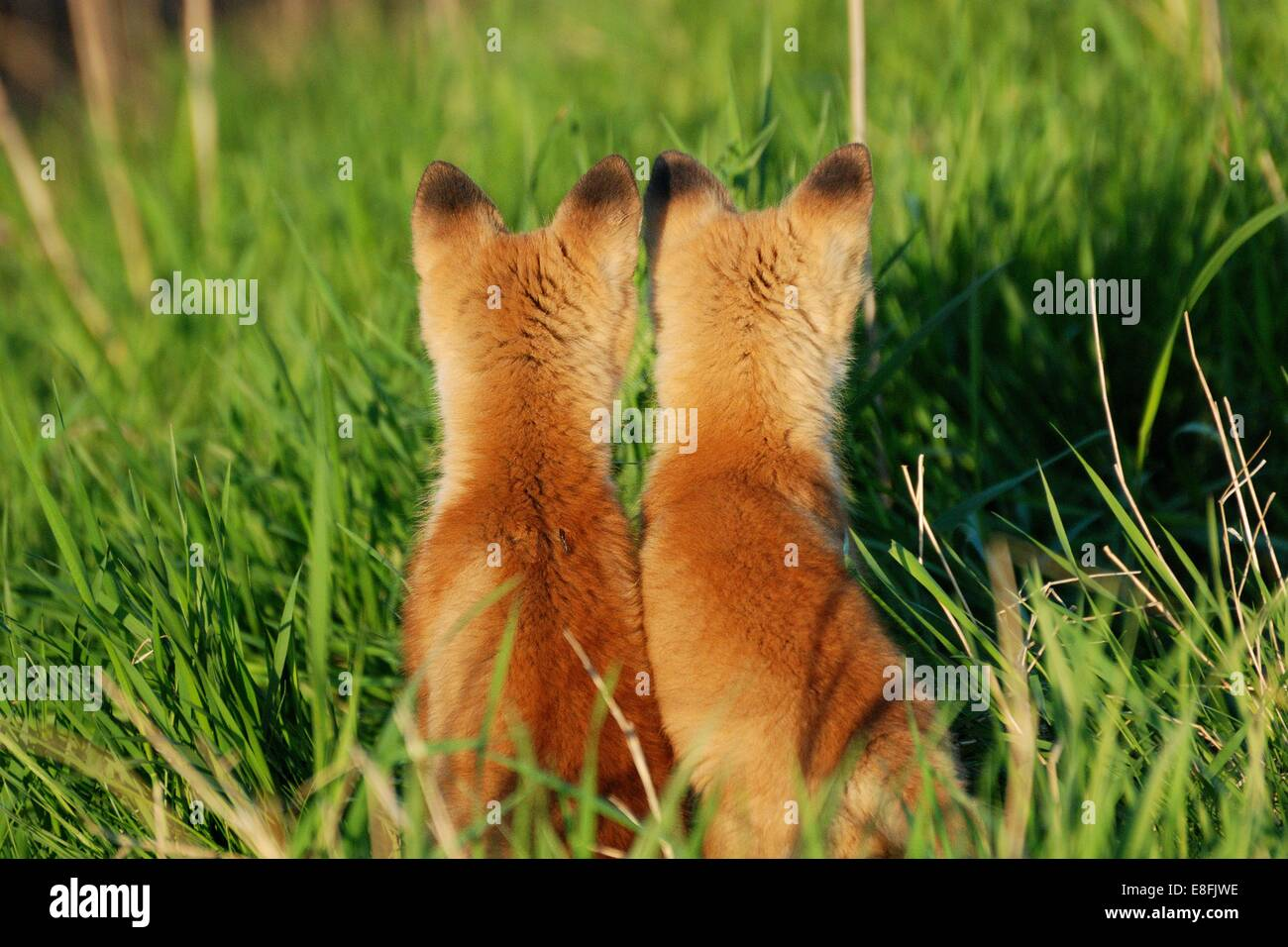 Two fox cubs sitting side by side, Canada - Stock Image