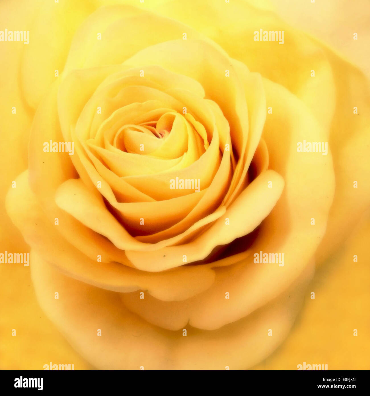 Close up of yellow rose - Stock Image