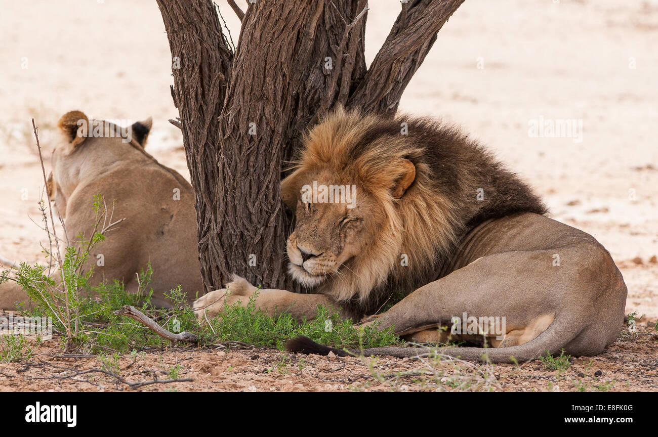 Lion and lioness lying by a tree, Botswana - Stock Image