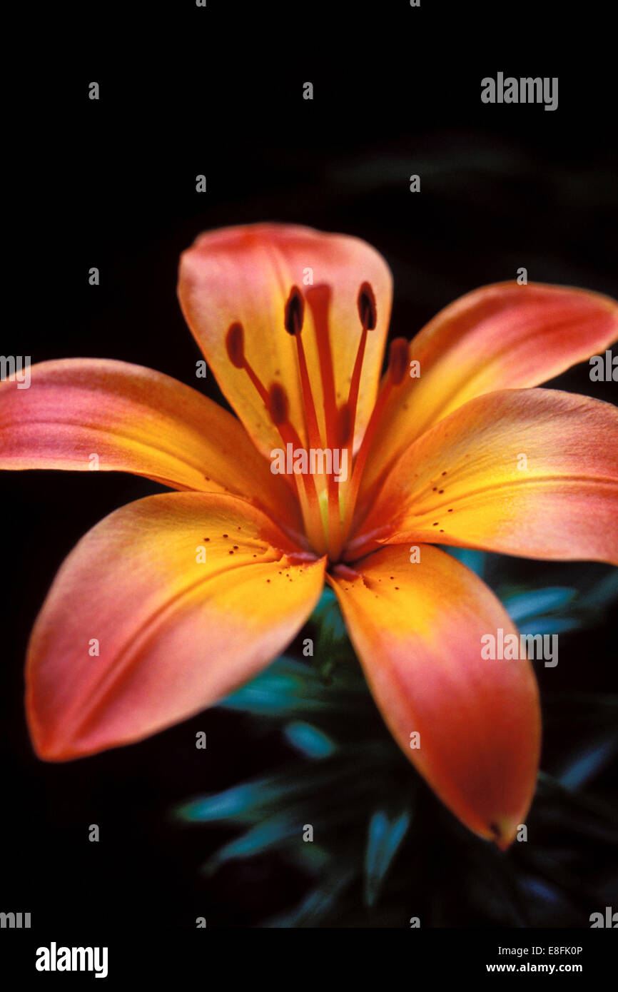 Canada, Ontario, Ottawa, Tiger Lilly - Stock Image
