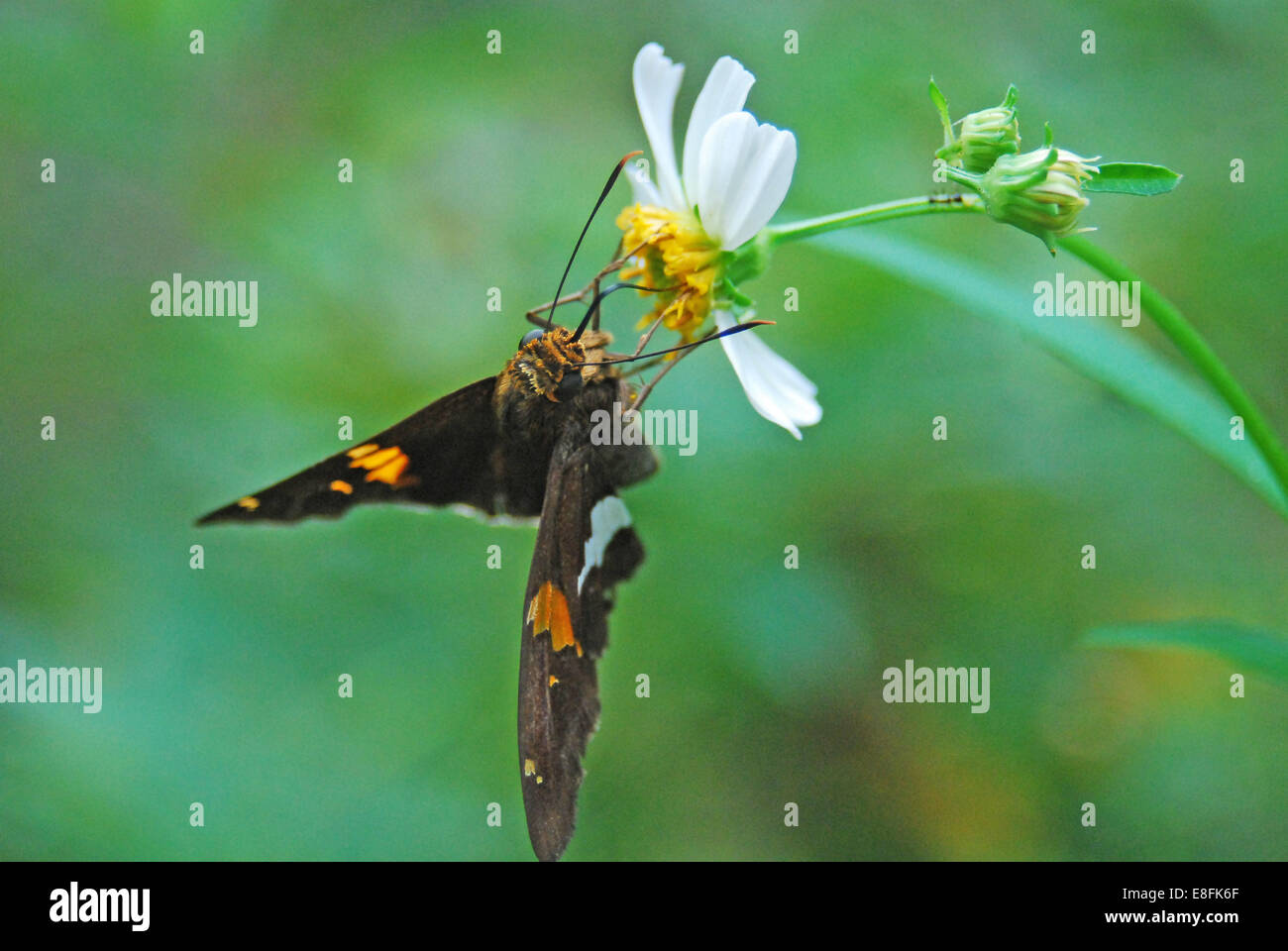 USA, Florida, Orange County, Orlando, Moth on wild daisy sipping on nectar - Stock Image