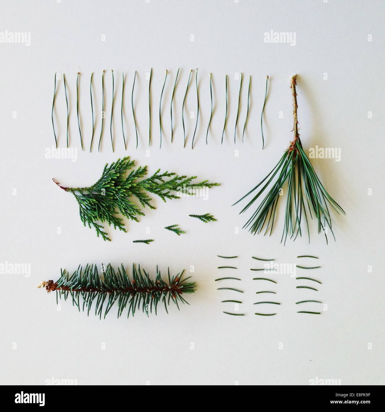 Pine tree branches and needles - Stock Image