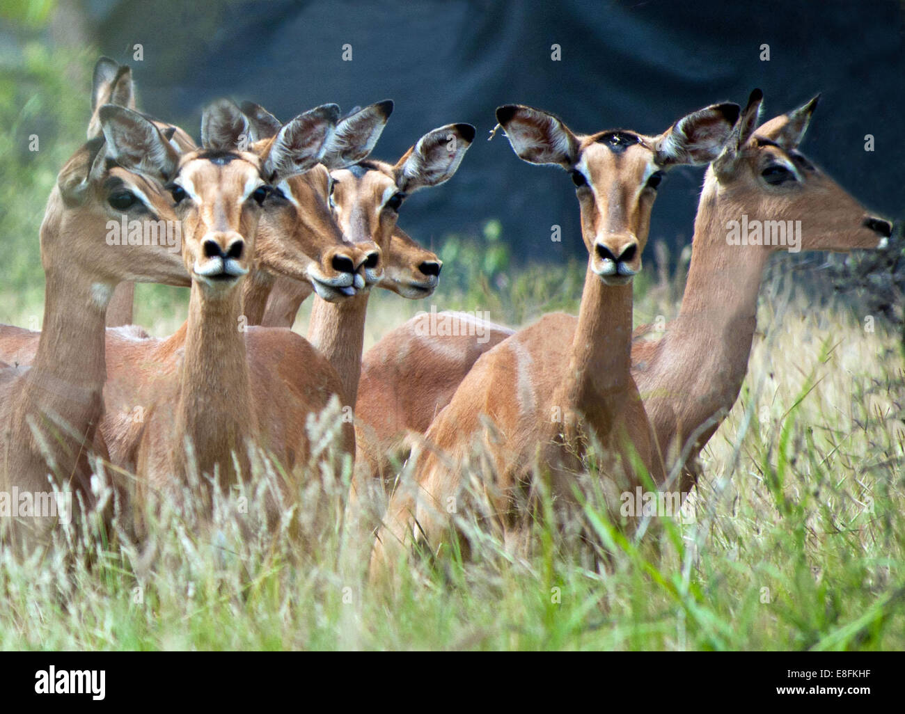 Red Impalas running, South Africa Stock Photo