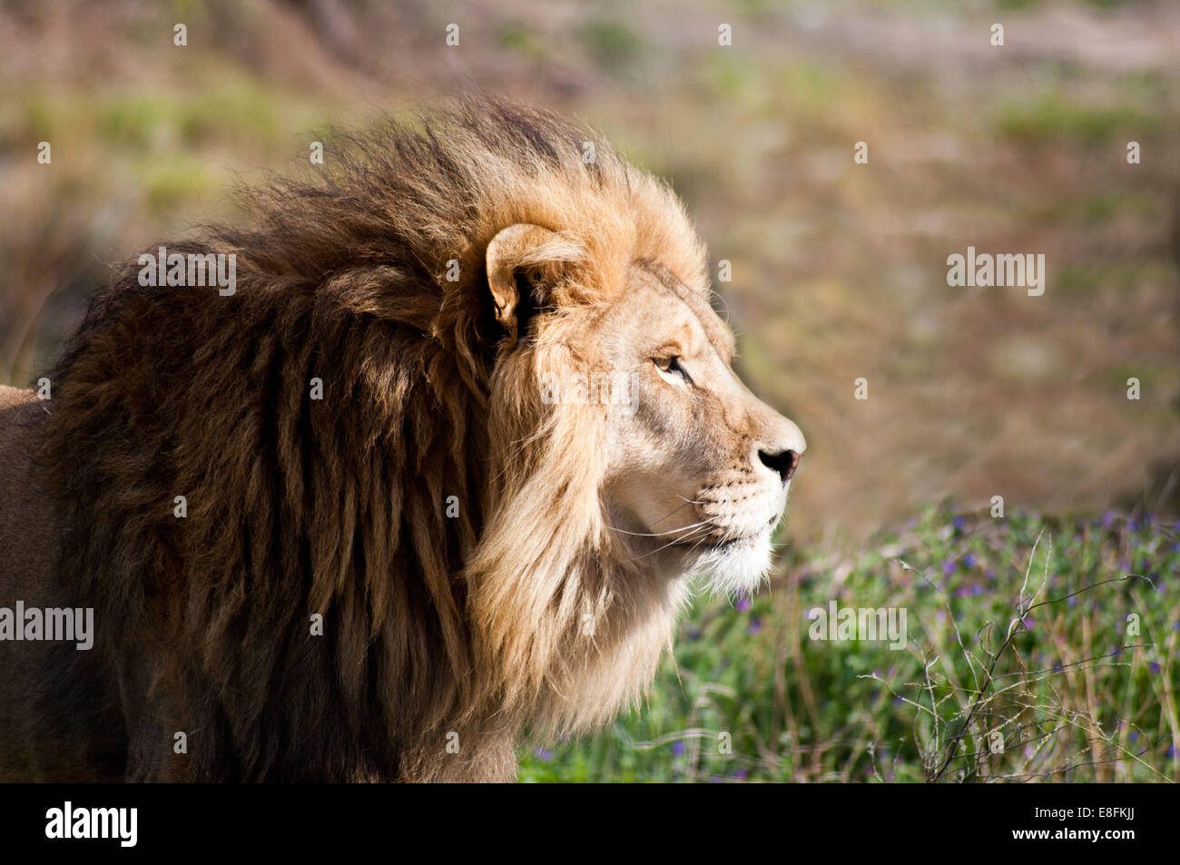 Portrait of a lion, Limpopo, South Africa - Stock Image