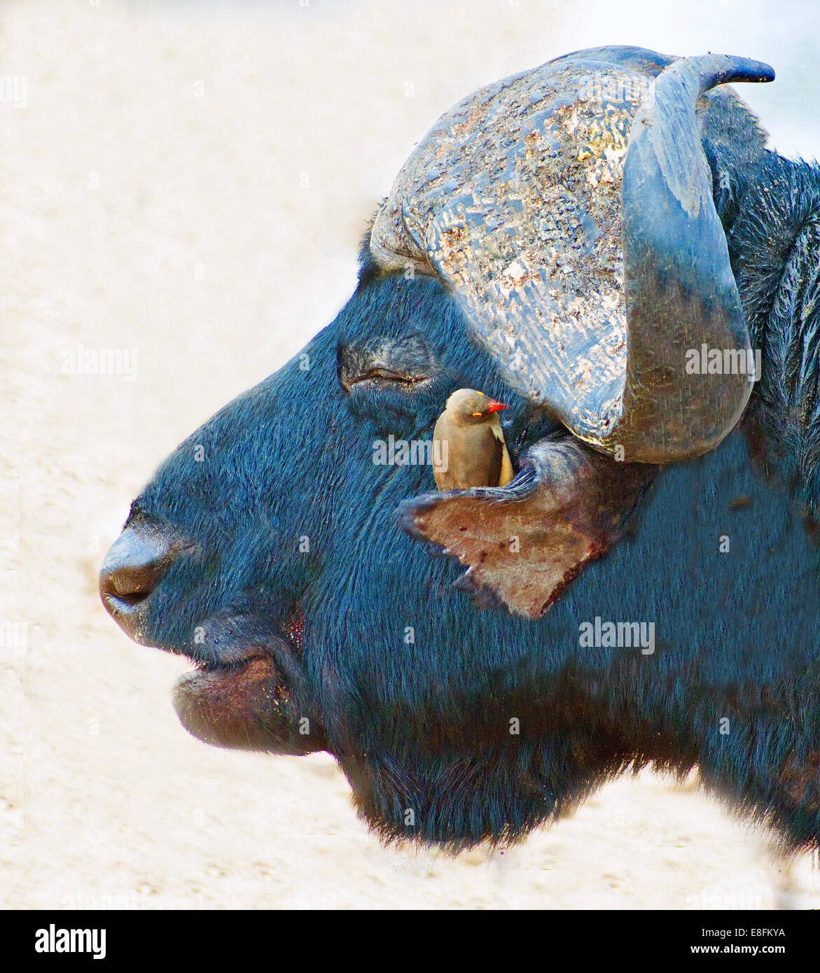 Red billed oxbird sitting on a buffalo, Limpopo, South Africa, - Stock Image