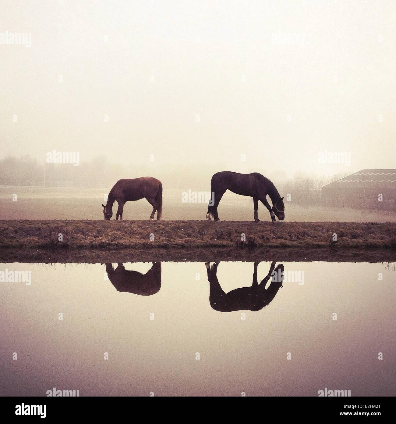 Reflections of horses grazing on pasture - Stock Image