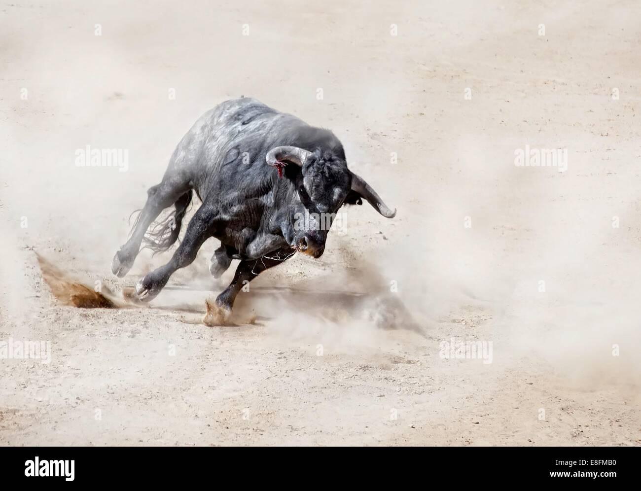 Bull charging across sand creating dust cloud - Stock Image