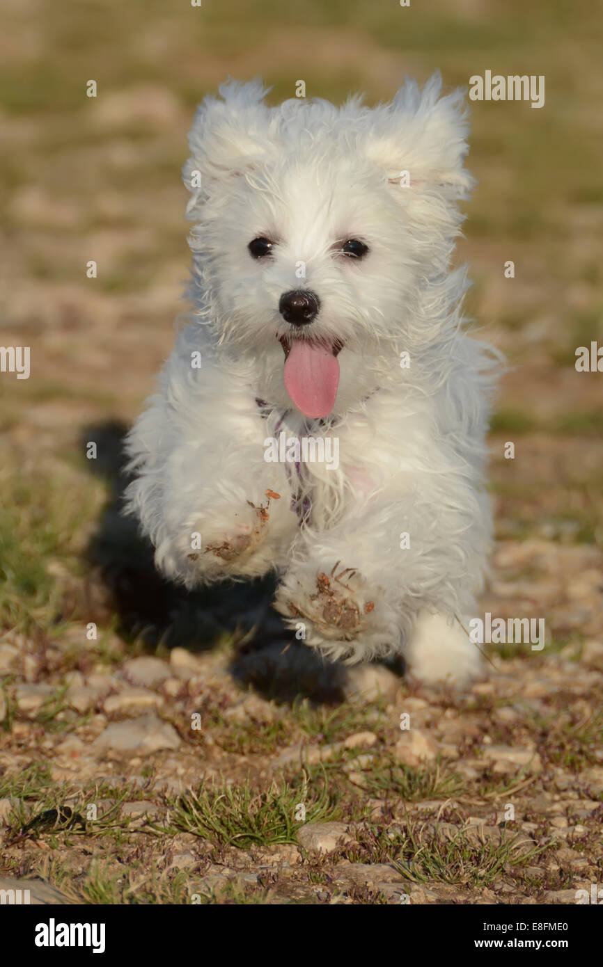 Front view of Maltese puppy dog running - Stock Image
