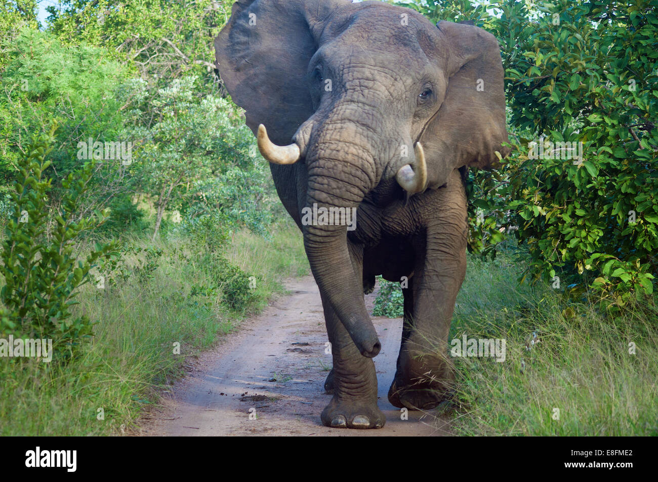Elephant bull standing on road, Limpopo, South Africa - Stock Image