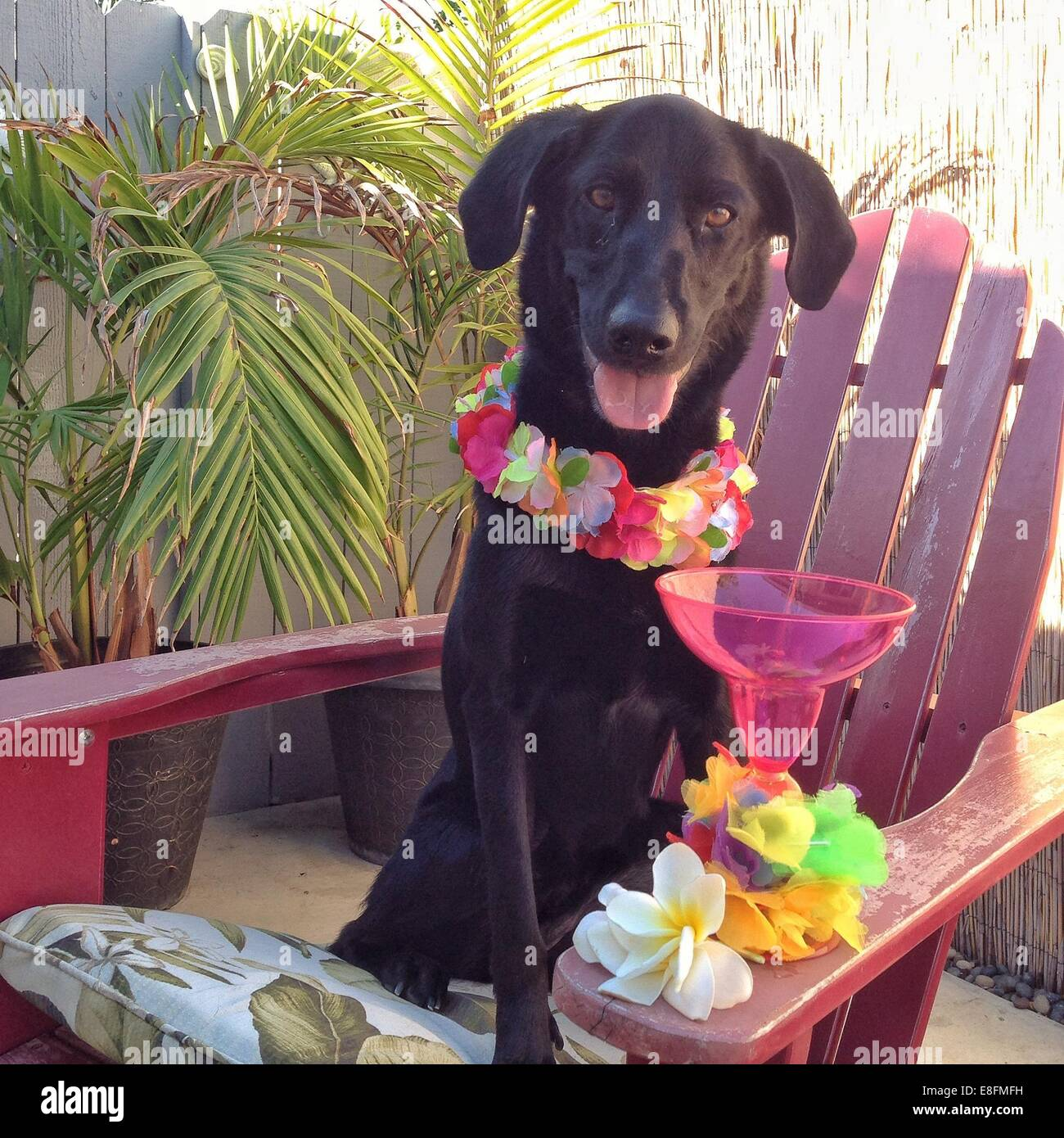 USA, California, Orange County, Portrait of dog wearing lei and Mai tai drink in front - Stock Image