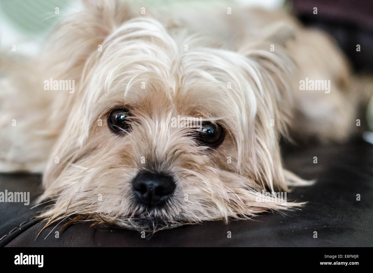 yorkshire terrier white portrait of a white yorkshire terrier dog lying on sofa 240