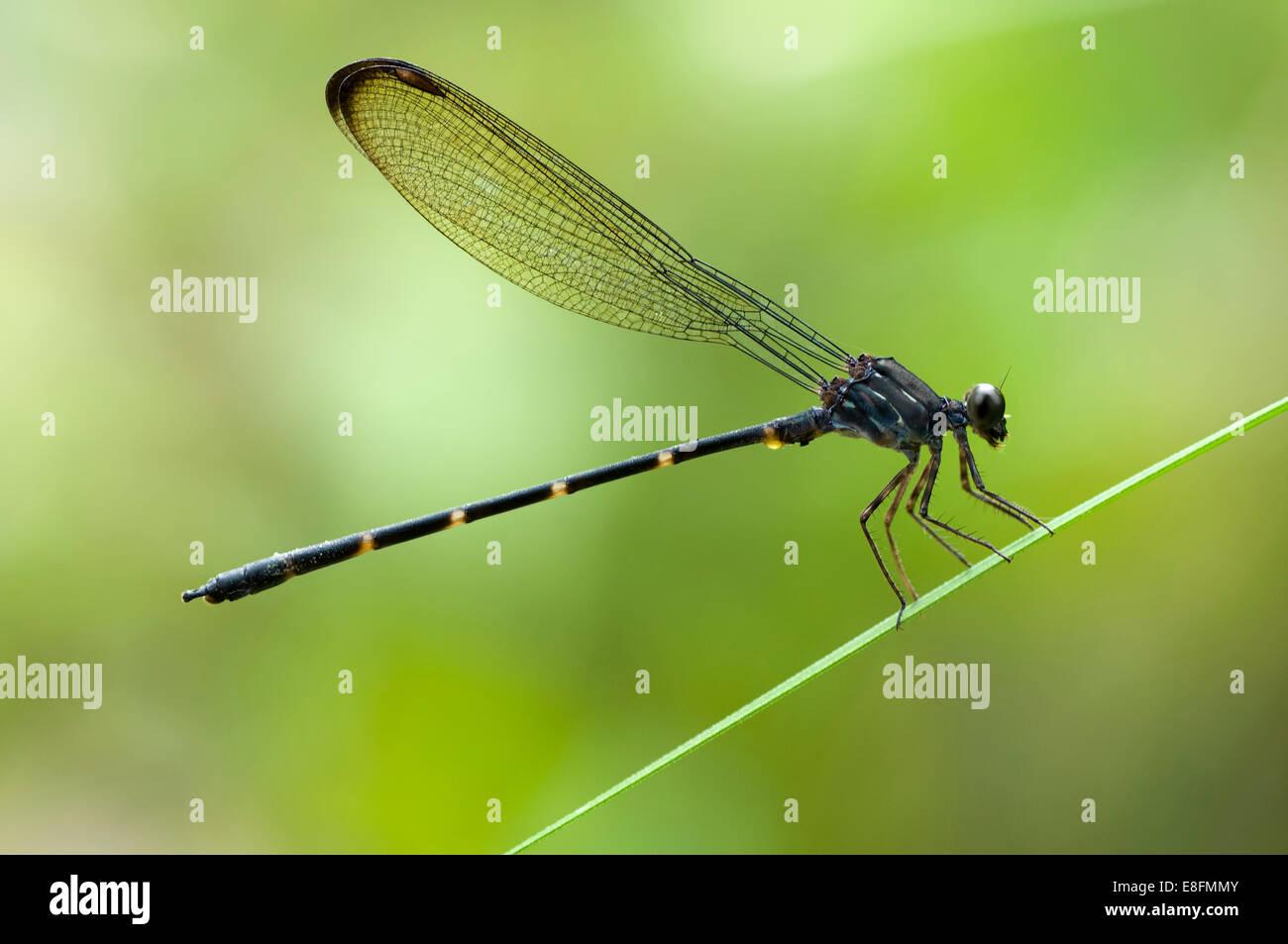 Indonesia, West Kalimantan, Bengkayang, Bamboo Tail dragonfly - Stock Image