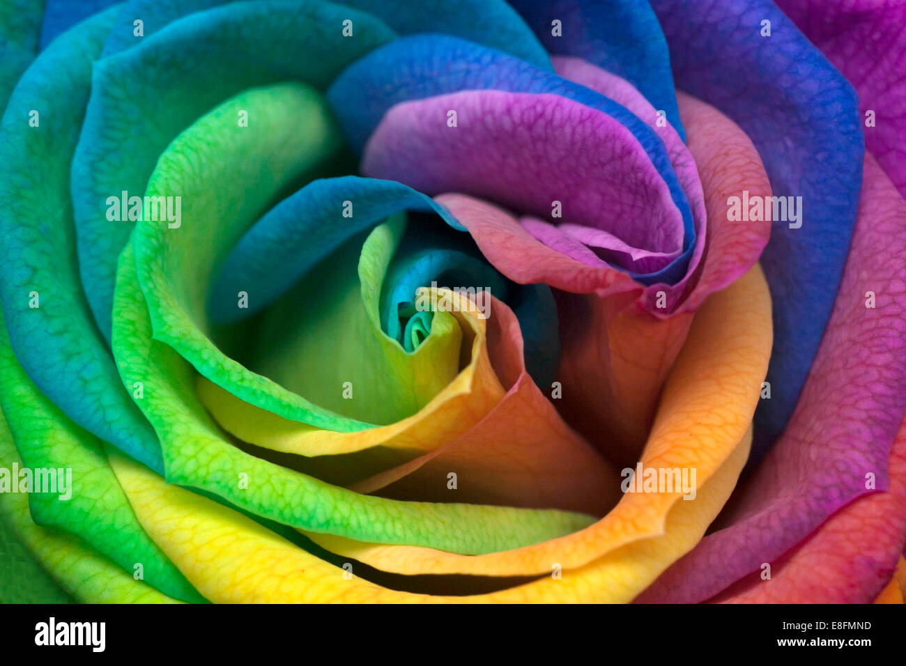 Rainbow rose stock photos rainbow rose stock images alamy indonesia jakarta close up of rainbow rose stock image junglespirit Image collections