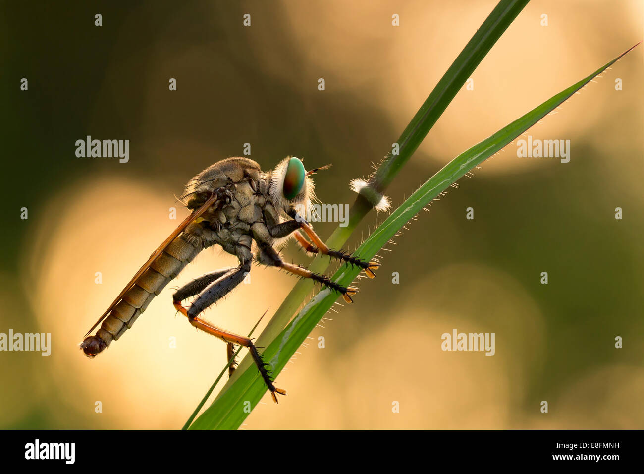 Indonesia, West Java, Bekasi, Close up of rubber fly Stock Photo ...