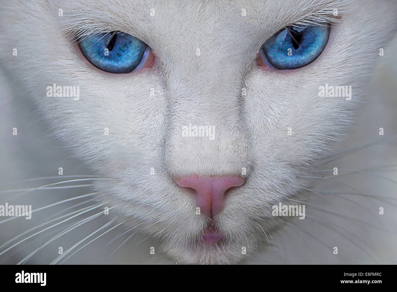 Portrait of a white cat with blue eyes - Stock Image