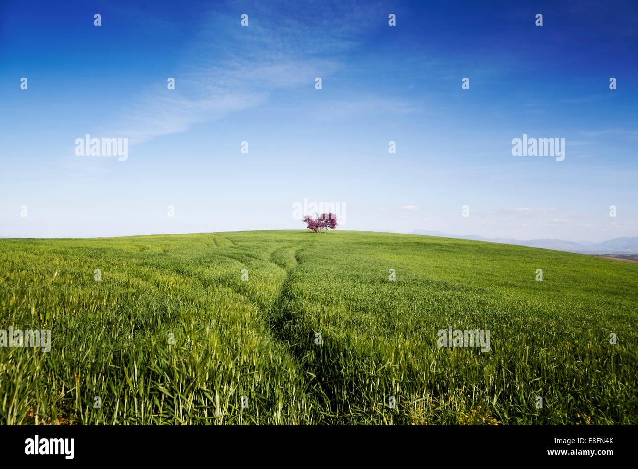Spain, Pink tree in middle of green field - Stock Image