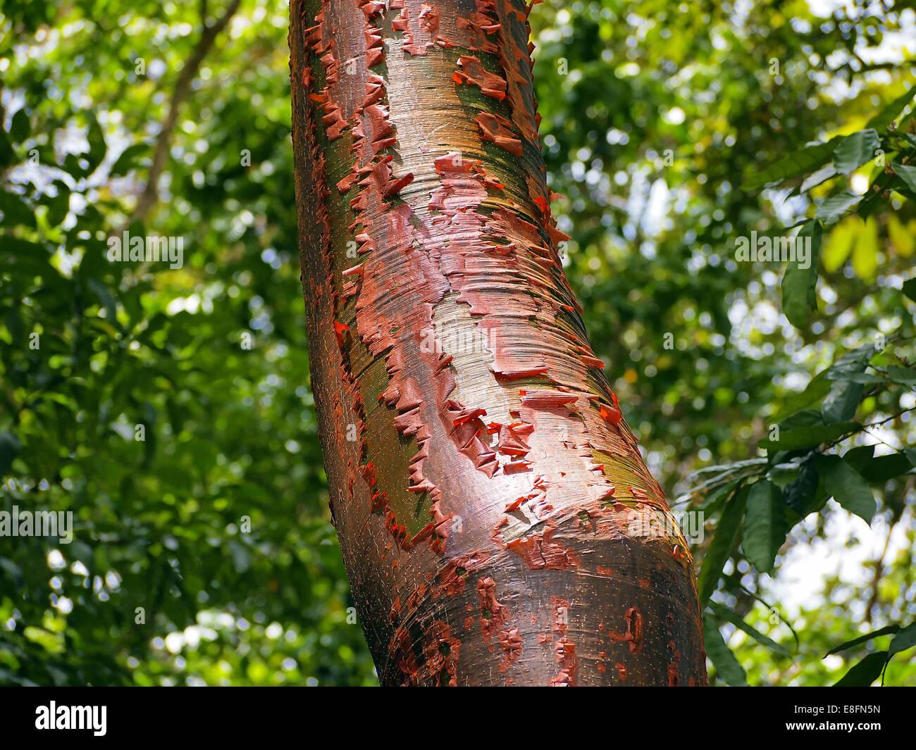 Gumbo-limbo tree with red bark and peeling - Stock Image