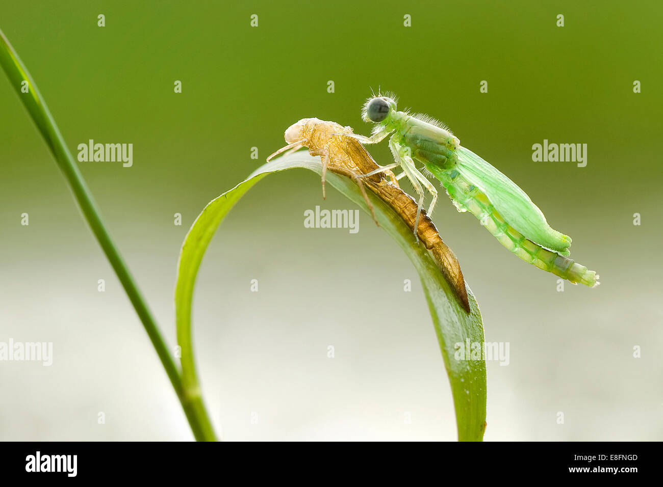 Indonesia, Pontianak, Baby dragonfly - Stock Image