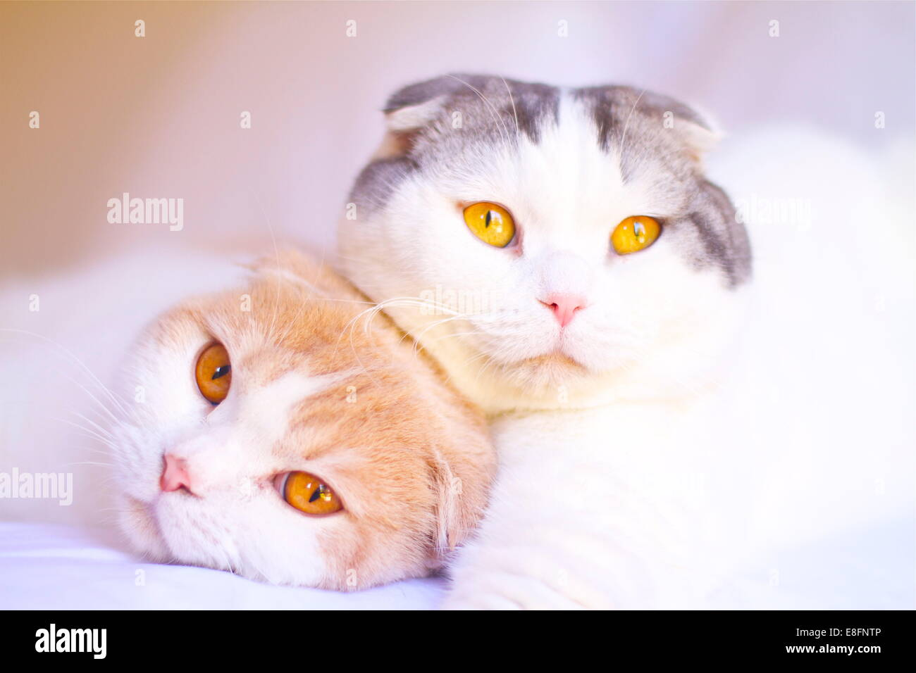 Portrait of two Scottish Fold cats lying on a bed together - Stock Image