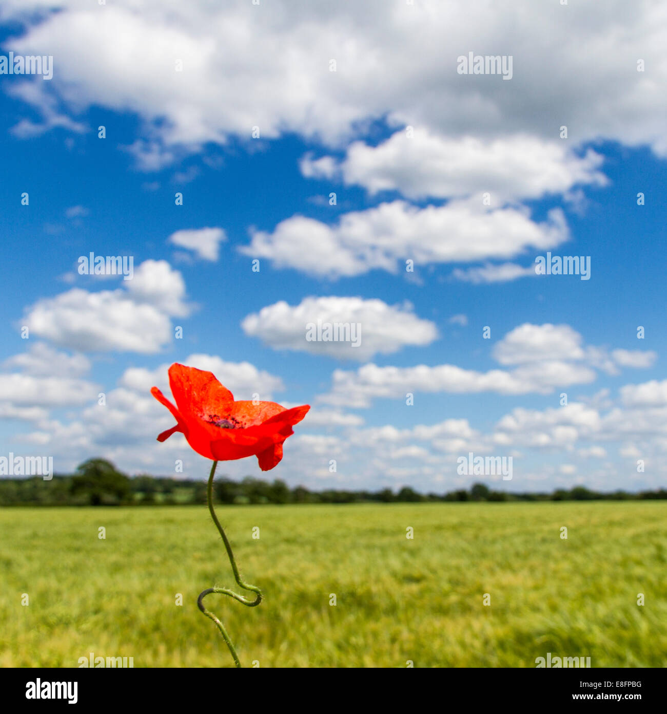 View of poppy in field Stock Photo