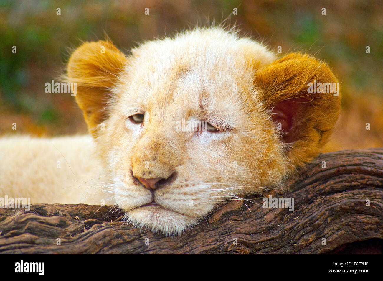 Picture of White Lion Cub (Panthera leo krugeri) lying on tree trunk, Limpopo, South Africa - Stock Image