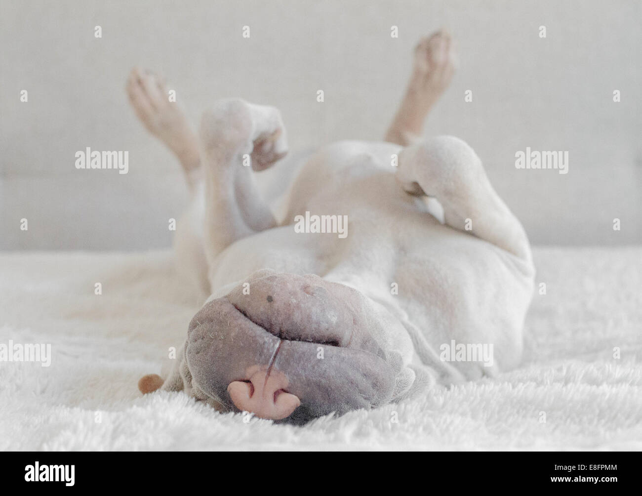 Puppy shar pei sleeping - Stock Image