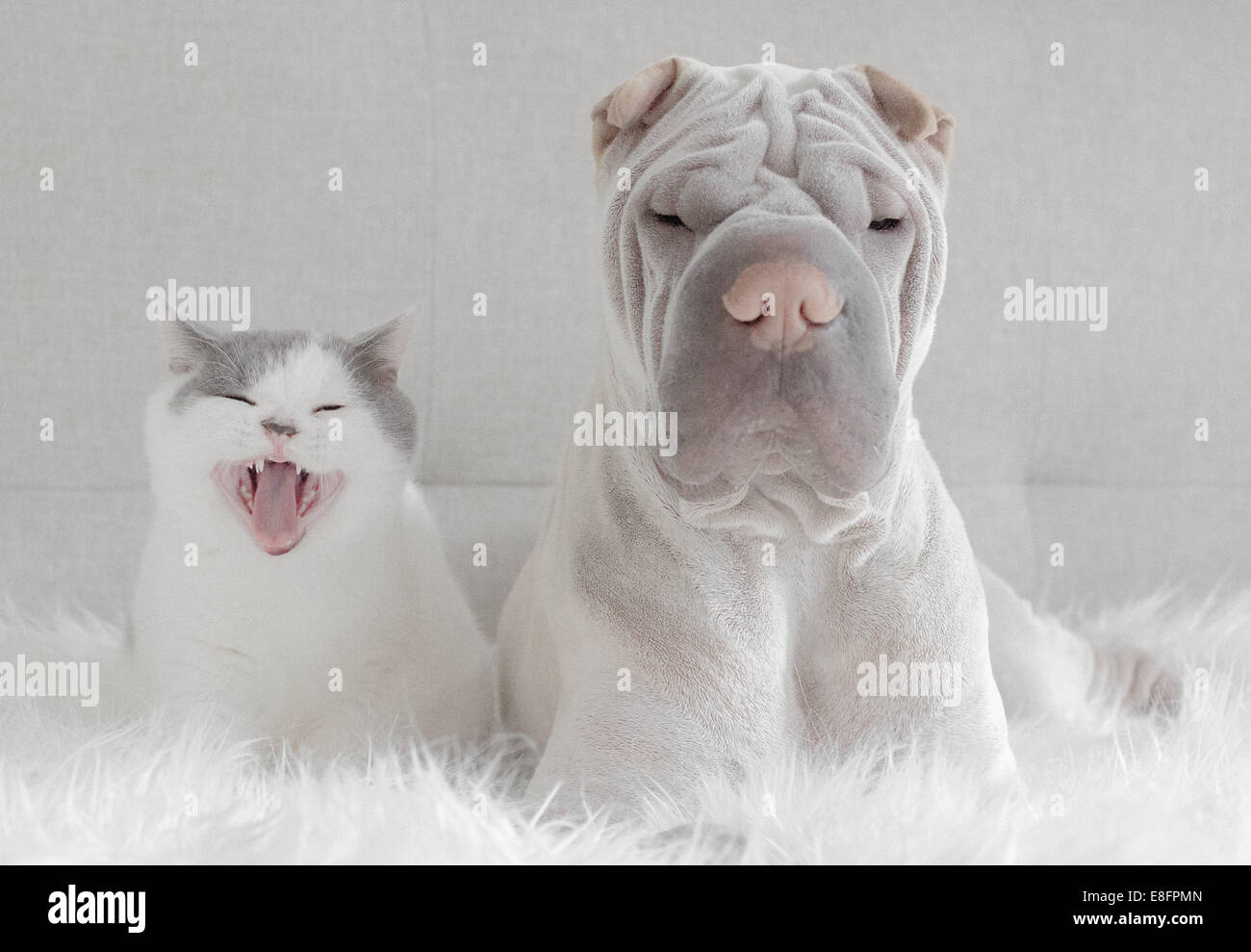 Front view of shar pei and cat - Stock Image