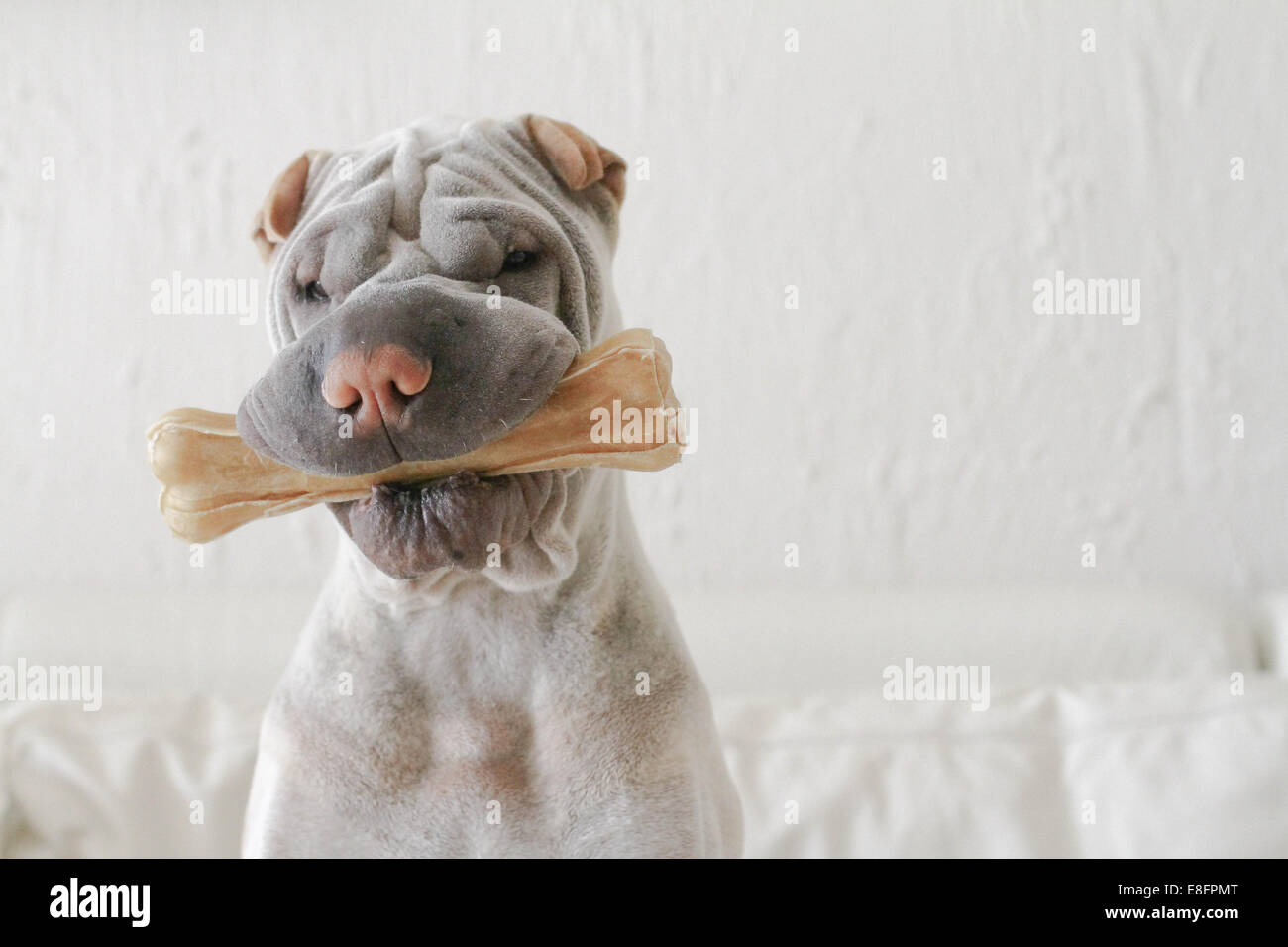 Shar-pei biting bone - Stock Image