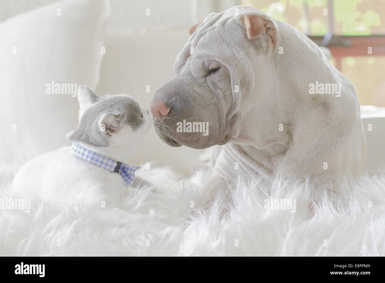 Shar-pei and kitten face to face - Stock Image