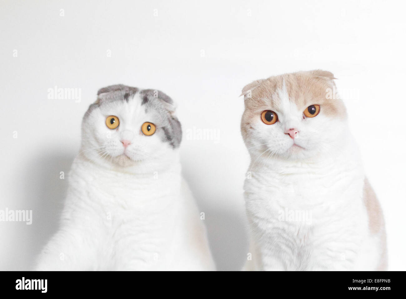 Studio shot of two Scottish folds looking puzzled - Stock Image