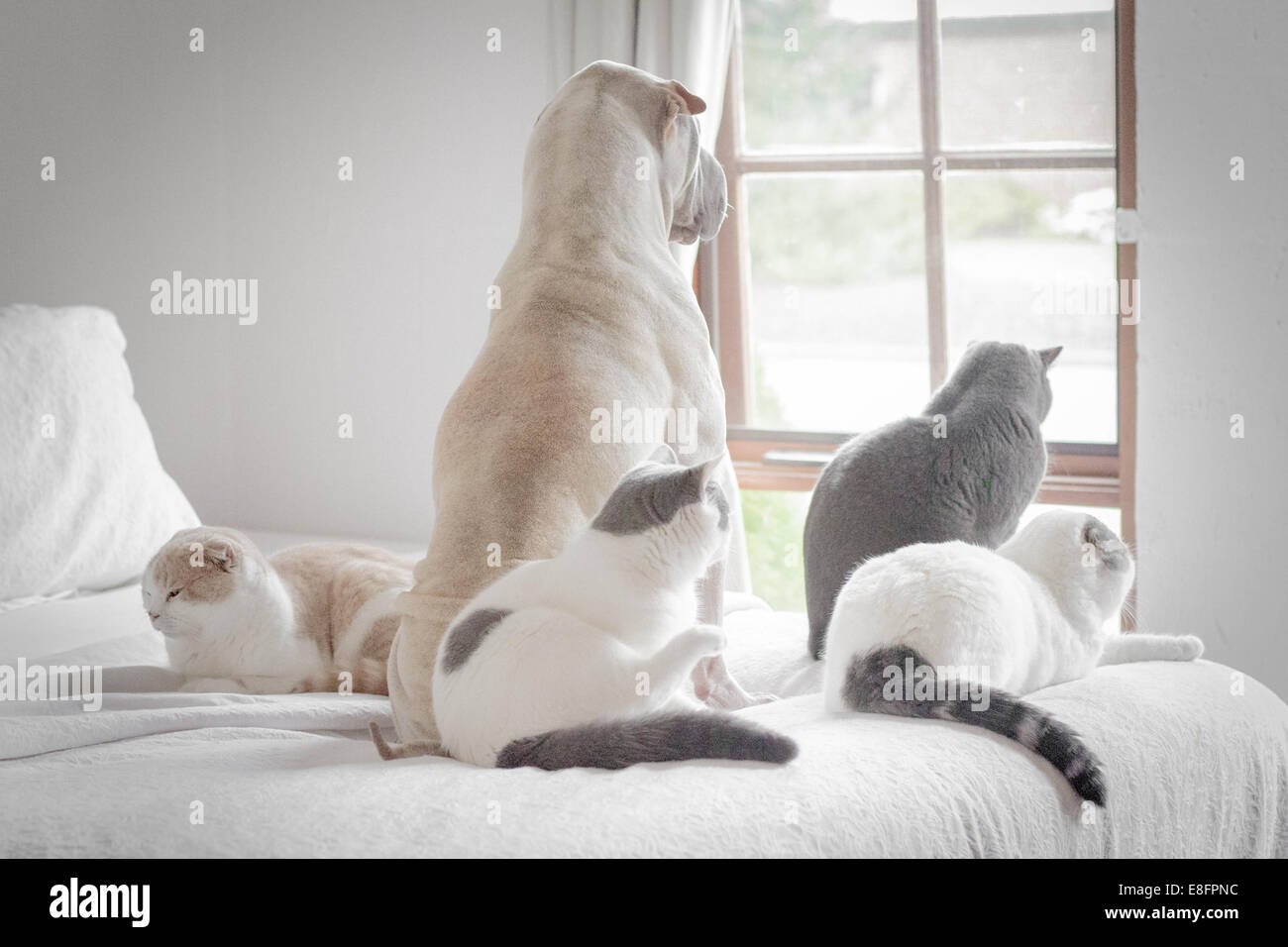 Dog and four cats looking out of window - Stock Image