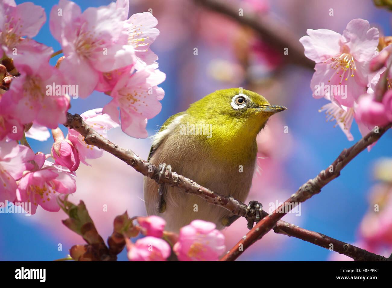 Close-up of Mejiro (Japanese White-Eye) bird sitting in Cherry blossom tree (sakura) - Stock Image