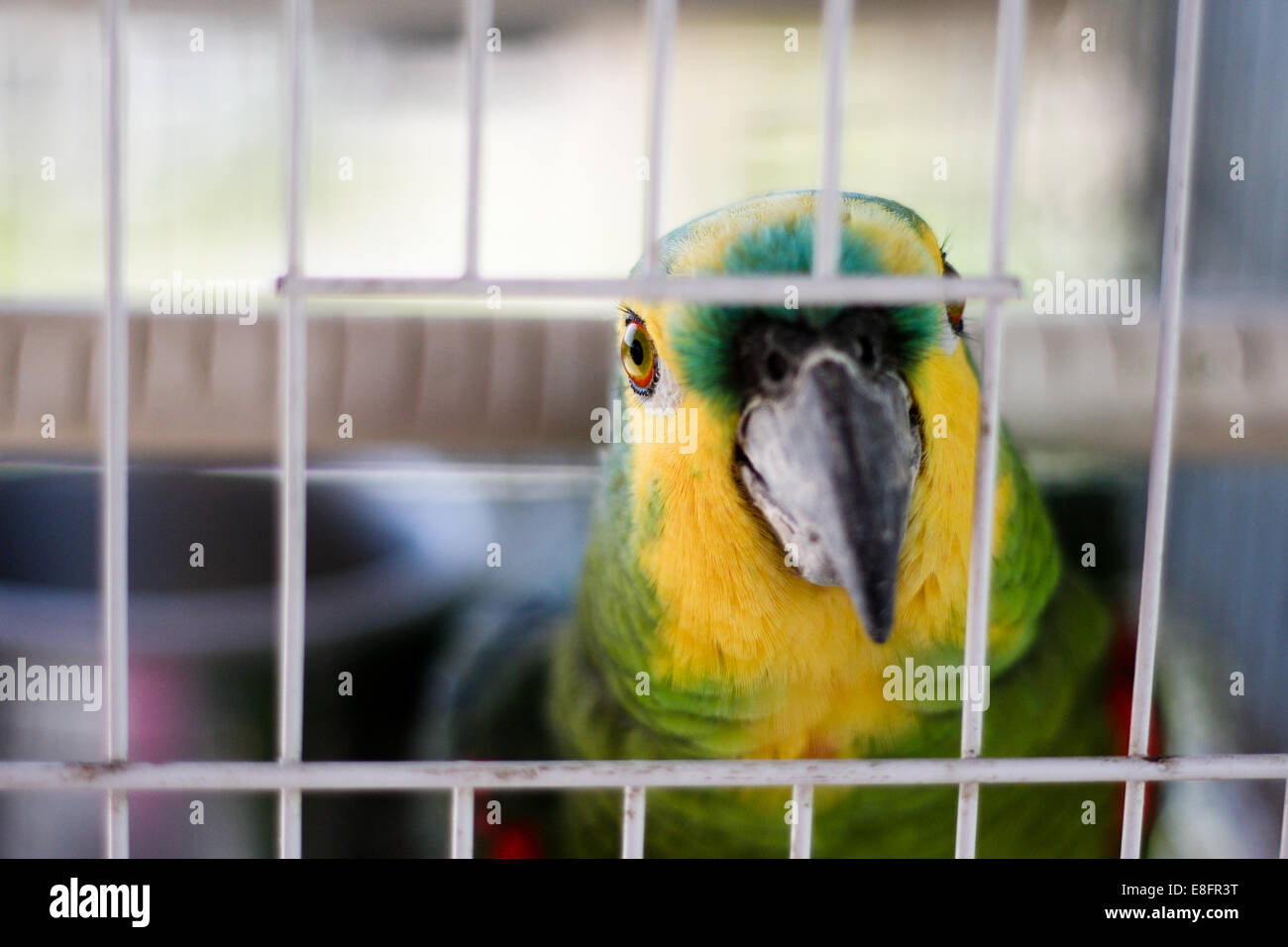 Parrot in cage - Stock Image
