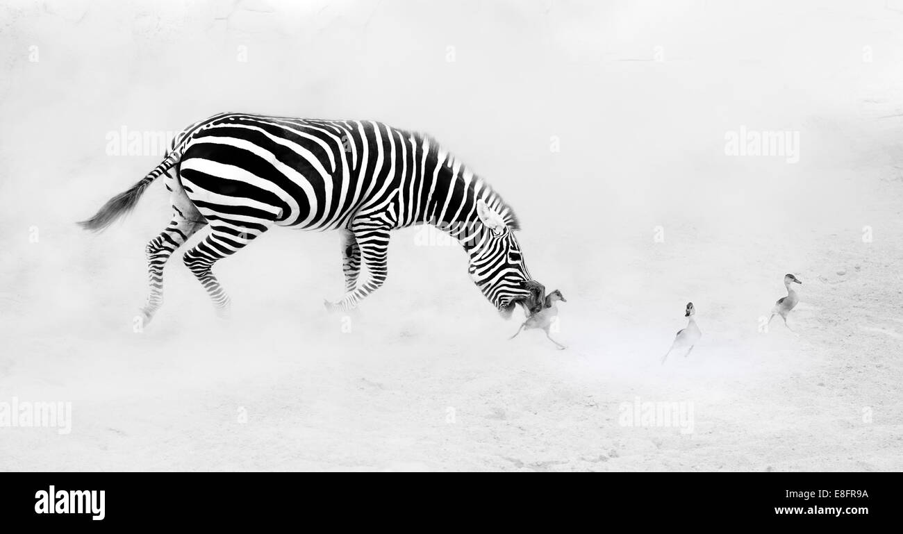 Zebra (Perissodactyla) chasing goslings - Stock Image