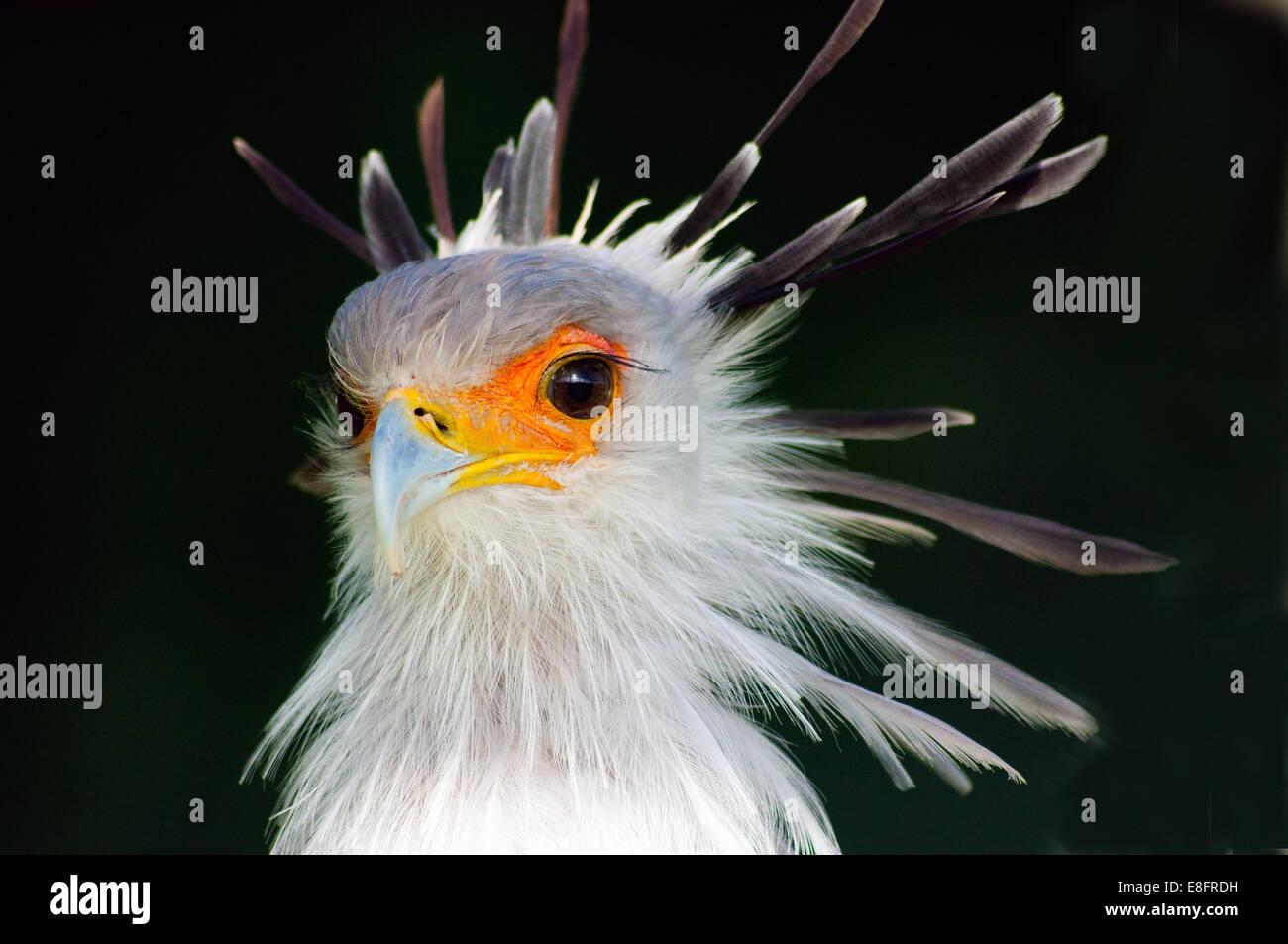 Secretary Bird, Western Cape, South Africa Stock Photo