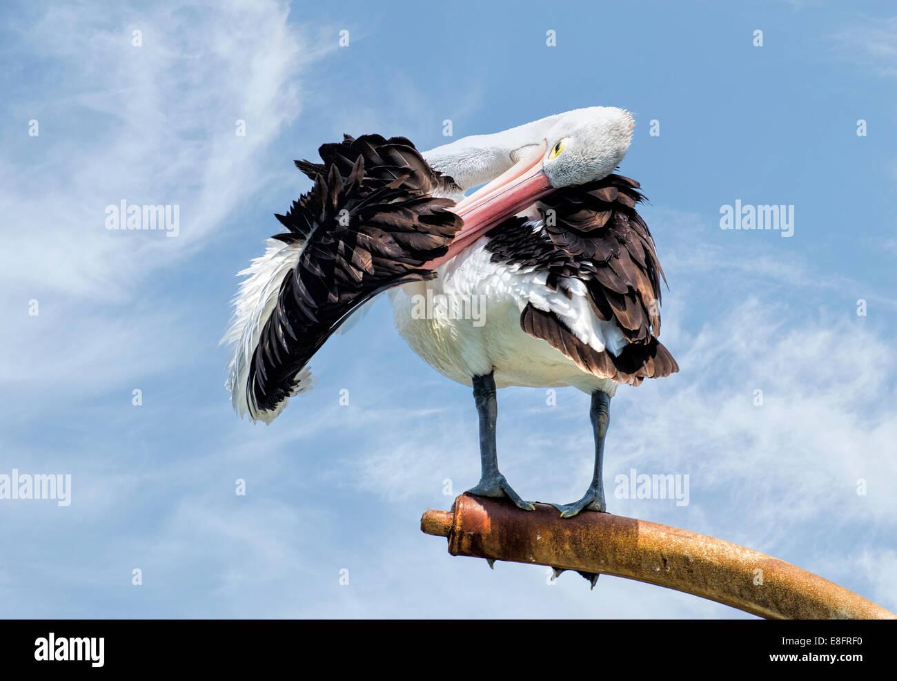 Australia, Australian Pelican preening his wing - Stock Image