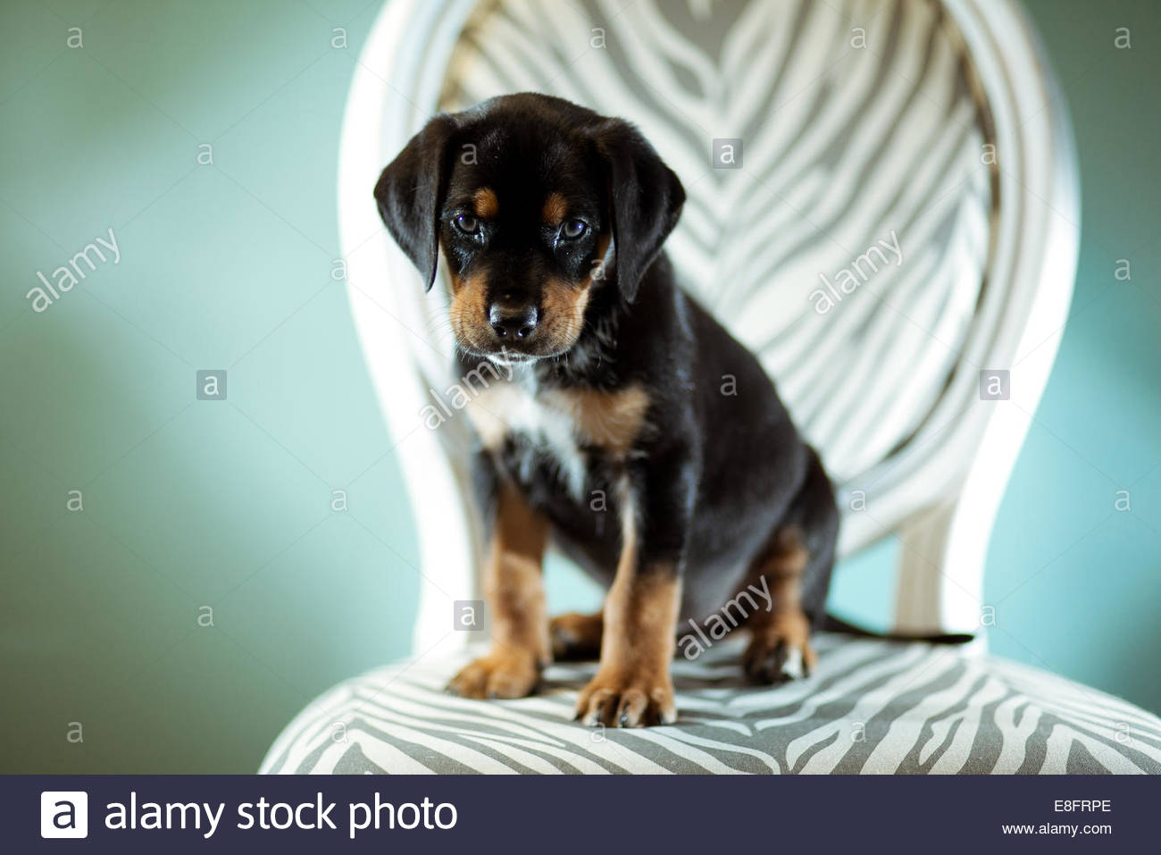 Puppy dog sitting on chair - Stock Image