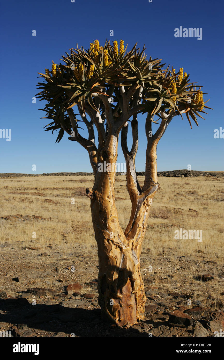 Lone quiver tree in desert, Namibia - Stock Image